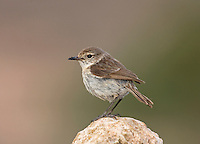Canary Islands Stonechat - Saxicola dacotiae - female