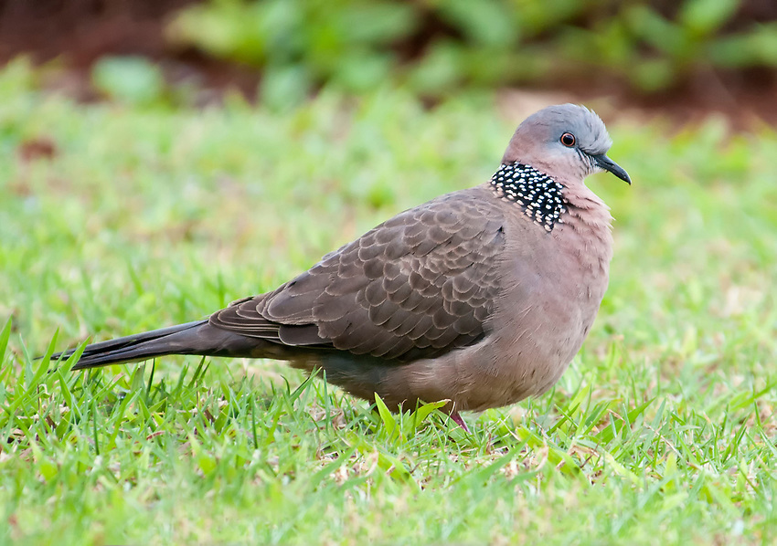 Spotted dove (Spilopelia chinensis) seen in Princeville, Kauai, Hawaii