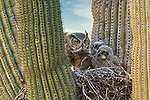 Owls nest in a cactus to protect themselves by Pattie Walsh
