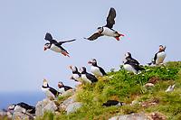 bird flock, Atlantic Puffins Fratercula arctica Newfoundland CANADA