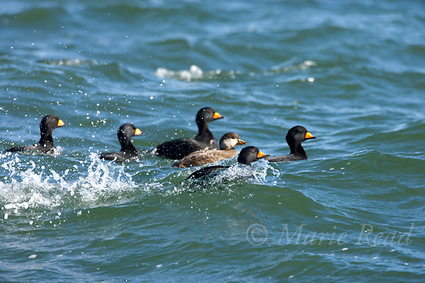 Black Scoters (Melanitta nigra), courting group of males and female, Barnegat Inlet, New Jersey, USA