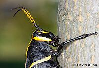 0913-0807  Adult Horse Lubber Grasshopper - Taeniopoda eques © David Kuhn/Dwight Kuhn Photography.