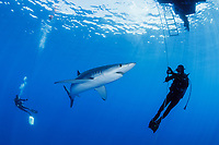 WQ1443-D. A Blue Shark (Prionace glauca) swims between scuba divers on a baited shark attraction dive. Though potentially dangerous, many people safe encounters with this sleek species of requiem shark (family Carcharhinidae) which can grow to lengths of over 12 feet. Azores, Portugal, Atlantic Ocean.<br /> Photo Copyright © Brandon Cole. All rights reserved worldwide.  www.brandoncole.com