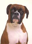 Boxer dog. Head and shoulders.