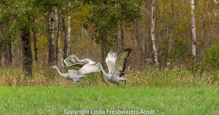 Family of sandhill cranes taking flight in northern Wisconsin.