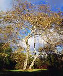 USA, California, San Diego.  Sycamore Tree