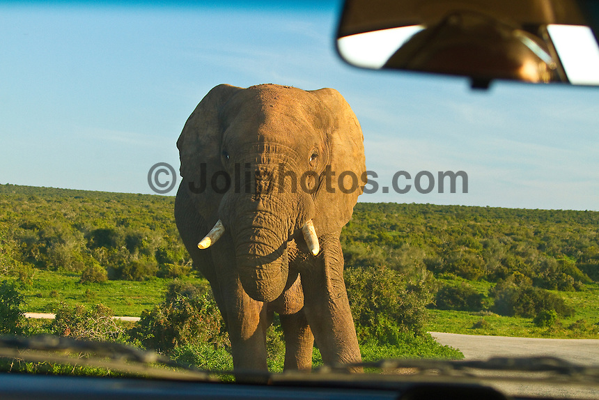 Port Elizabeth, South Africa (Sunday, July 17, 2011) - Bull Elephant. Addo Elephant National Park. The park is a sanctuary to a multitude of game species and abundant birdlife including over 500 Elephants, Lions, Black Rhinos, Buffalos, Leopards and Zebra.  Photo: joliphotos.com