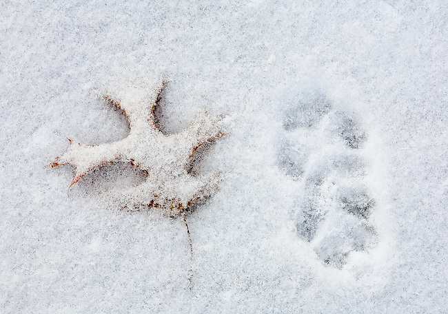 Fox tracks and an oak leaf under light snow.