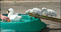BNPS.co.uk (01202 558833)<br /> Pic: PhilYeomans/BNPS<br /> <br /> Keeper  Chris Abbey uses a surrogate to tempt the cygnets into the pool.<br /> <br /> Incubator hatched cygnets learn how to swim...<br /> <br /> A pair of baby cygnets hatched in an incubator had their first swimming lesson at the Birdland animal park in Bourton on the water yesterday.<br /> <br /> Unlike in the wild these chicks had never seen water before and keeper Chris Abbey had to coax them in to a special pool using a decoy soft toy to replicate their parents.<br /> <br /> The park decided to hatch the egg's in an incubator after losing a previous clutch, and now have to teach the cygnets some basic skills before reintroducing them to their group in the park.<br /> <br /> The chicks learnt very quickly even jumping on the back of the soft toy as they would their mothers in the wild.