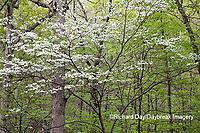 63808-03102 Dogwood Tree (Cornus florida) in bloom Marion Co. IL
