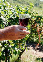 Vigneti dei signori Franchini presso Montescano (Pavia) nell'Oltrepò Pavese. Un bicchiere di vino rosso Bonarda prodotto dalle loro uve in mano al contadino --- Franchini's vineyards near Montescano (Pavia) in the Oltrepò Pavese. A glass of Bonarda red wine made from their grapes in the hand of the farmer