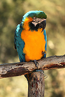 Stock photo: Beautiful blue and golden Macaw sitting on a tree.