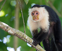 A white-faced monkey (or capuchin), one of Costa Rica's four monkey species.
