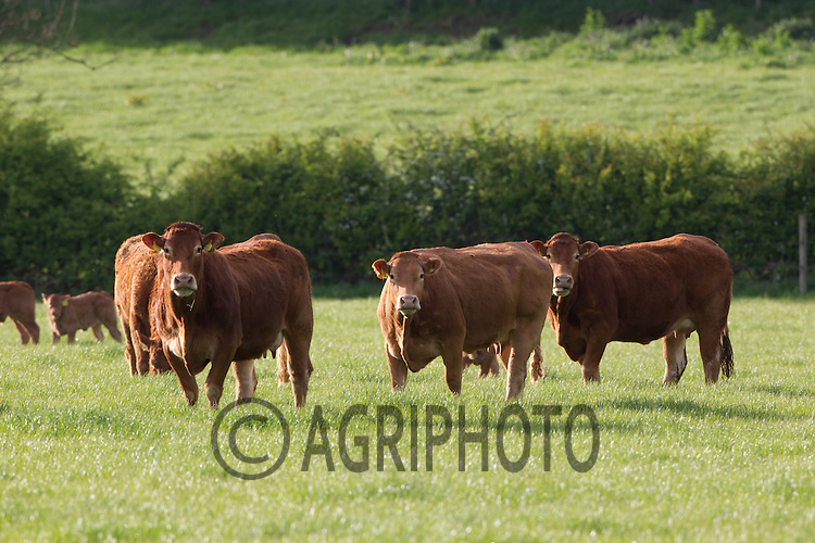 Limousin cows and calves out at grass<br /> Picture Tim Scrivener 07850 303986