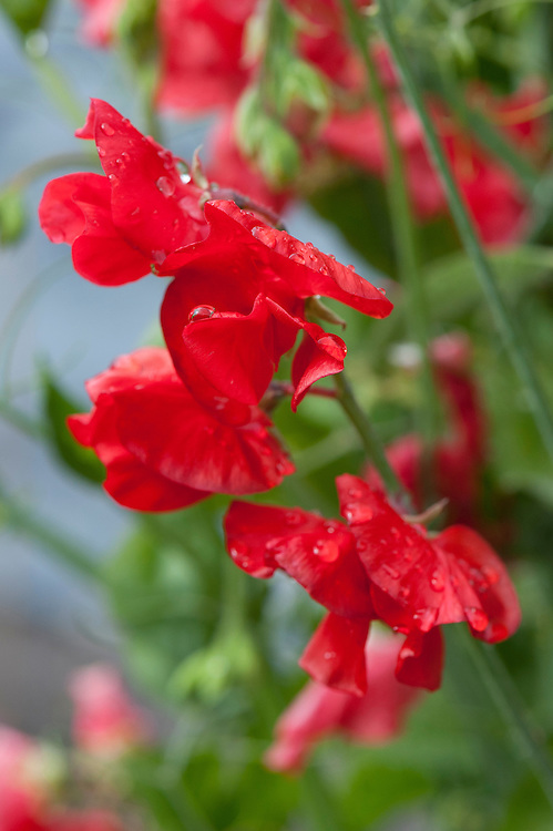 Sweet pea 'Inferno', mid June.