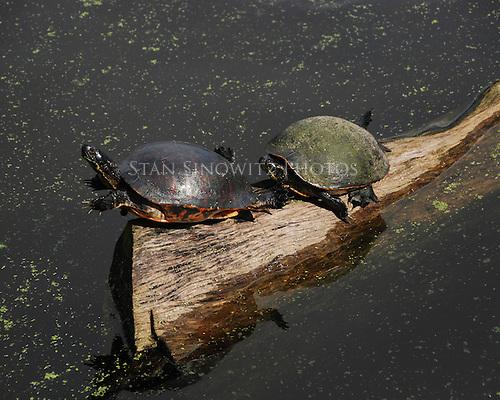 Turtles sunbathing on a log.