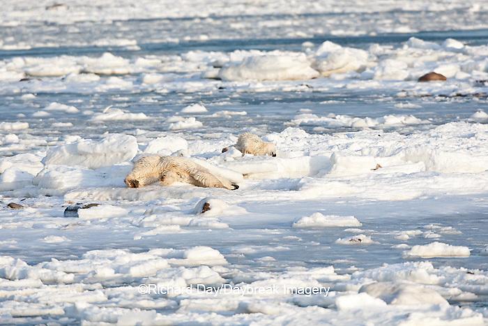 01874-12208 Polar Bear (Ursus maritimus) mother and cub rolling in snow near Hudson Bay  in Churchill Wildlife Management Area, Churchill, MB Canada