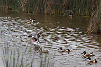 A collection of Northern shoveler ducks, a brace of shovelers, with one coming in for a landing, at the Coyote Hills Regional Park.  A wildlife oasis in the wetlands along San Francisco Bay.