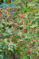 Rosa Nymphenburg in rosehips (Hybrid Musk rose) in autumn fall