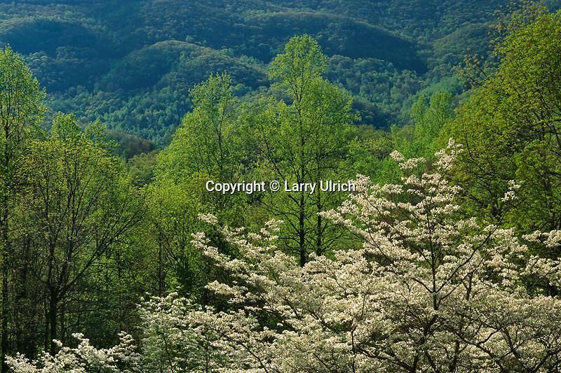 Flowering Dogwood<br /> Blue Ridge Parkway<br /> Blue Ridge Mountains<br /> Virginia