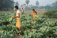 Vegetable farmer Geeta Devi (in orange), 45, a member of a Farmer's Producer Group, harvests cauliflower vegetables with her husband and son in her field in Machahi village, Muzaffarpur, Bihar, India on October 27th, 2016. Non-profit organisation Technoserve works with women vegetable farmers in Muzaffarpur, providing technical support in forward linkage, streamlining their business models and linking them directly to an international market through Electronic Trading Platforms. Photograph by Suzanne Lee for Technoserve