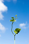 Unsupported single bean plant shoot growing climbing into blue sky