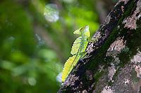 Green Basilisk (Basiliscus plumifrons) lizard in Costa Rica.