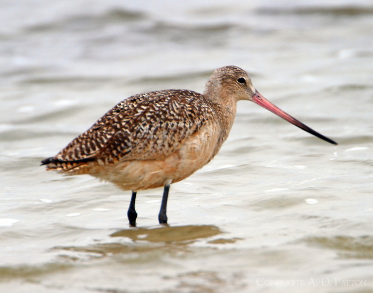 Adult marbled godwit in winter plumage