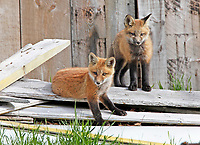 Two red fox kits outside barn