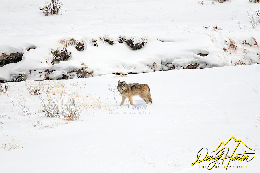 Grey Yellowstone Wolf, Lamar Valley, Yellowstone National Park