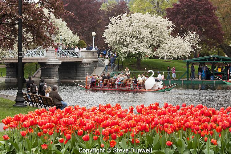 tulips & swan boats, Public Garden, spring, Boston , MA