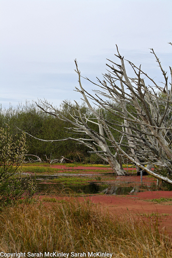 Several barren trees in a bog on Samoa near Eureka in Humboldt County in Northern California.