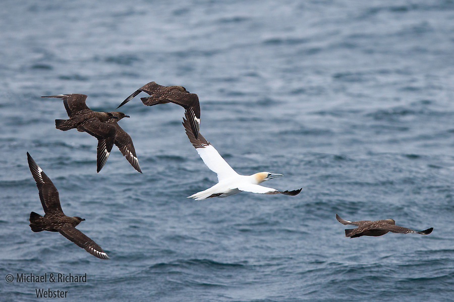 Great Skuas are top avian predators of the marine environment, here the victim is a Gannet.