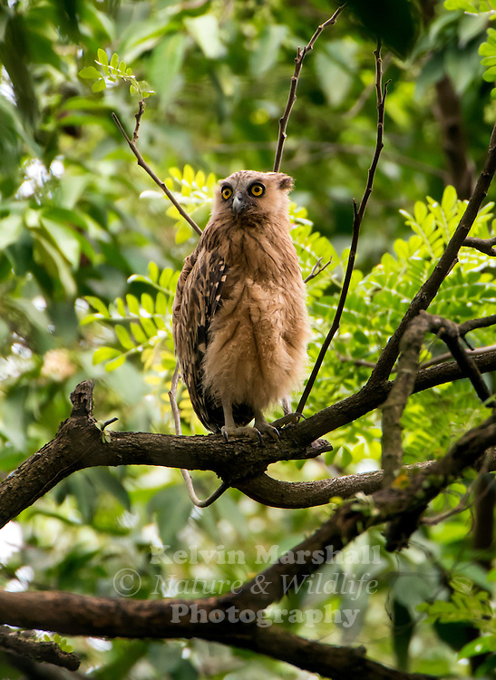 Buffy fish owl (Ketupa ketupu) also known as the Malay fish owl, is a species of owl in the family Strigidae. The four fish owls were previously generally separated in the genus Ketupa. Sungei Buloh Wetland Reserve - Singapore.