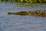 Nile Crocodile, Shire River, Malawi