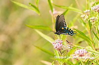 03004-01614 Pipevine Swallowtail (Battus philenor) on Swamp Milkweed (Ascelpias incarnata) Marion Co. IL