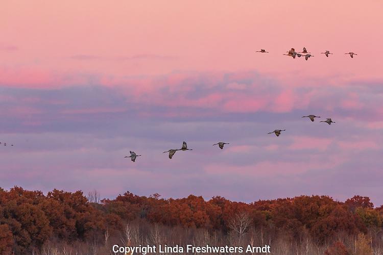 Sandhill cranes flying over Crex Meadows Wildlife Area.