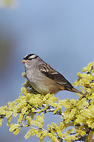 White-crowned Sparrow (Zonotrichia leucophrys), adult on blooming Blackbrush Acacia (Acacia rigidula), Starr County, Rio Grande Valley, Texas, USA