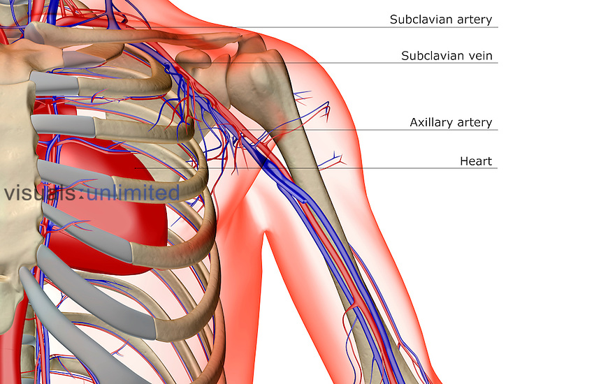An anterior view of the blood supply of the shoulder. The surface anatomy of the body is semi-transparent and tinted red. Royalty Free
