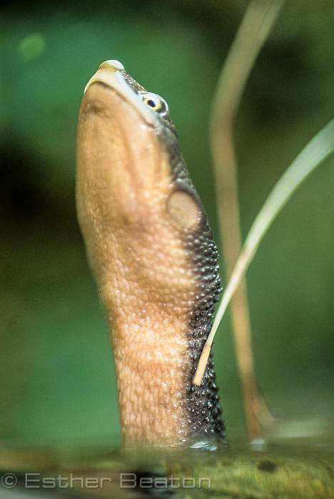 Snake-necked Turtle (Chelodina longicollis). Southeastern Austrlia
