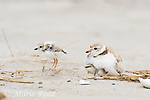 Piping Plover (Charadrius melodus), chick appraoces adult to be brooded, Massachussetts coast, USA