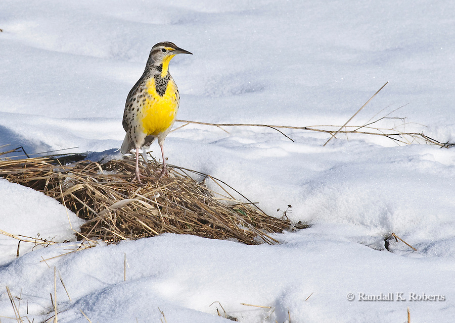 Western Meadowlark, (Sturnella neglecta) Adams County, Colorado