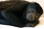 Central America, Costa Rica, Tamarindo. Restful Howler Monkey.