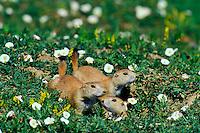 Mi753  Black-tailed Prairie dogs (Cynomys ludovicianus).Western prairie, USA.  Summer.