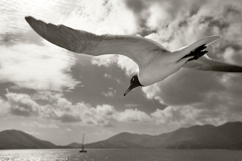 Venezuelan Laughing Gull flying by boat in  Virgin Islands.