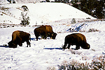 Wyoming: Yellowstone National Park.  Bison  in winter.  Photo #: wyyelw102..Photo copyright Lee Foster, www.fostertravel.com, 510/549-2202, lee@fostertravel.com