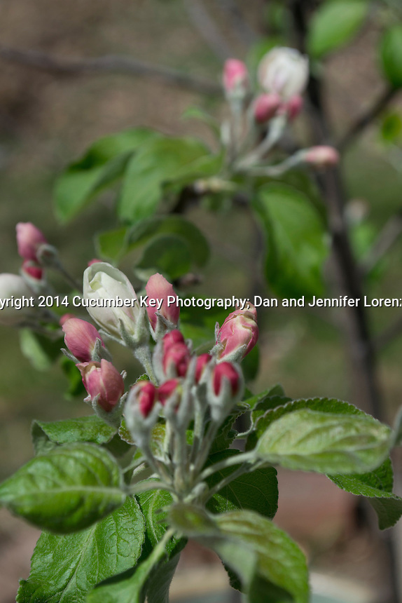 Spring buds on a dwarf Granny Smith apple tree.