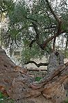 Samaria, Jujube tree in Kifl Haret