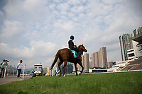 SHA TIN,HONG KONG-MAY 01: Stormy Antarctic,trained by Ed Walker,prepares for the Champions Mile at Sha Tin Racecourse on May 1,2017 in Sha Tin,New Territories,Hong Kong (Photo by Kaz Ishida/Eclipse Sportswire/Getty Images)
