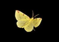Brimstone Moth - Opisthograptis luteolata